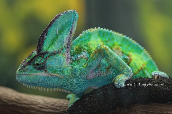 Chameleon by Lewis Outing on 500px