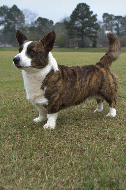Cardigan Welsh Corgi Dog Breed Information Corgi Dog Breed