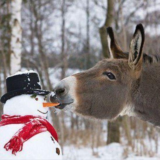 Christmas carrot: