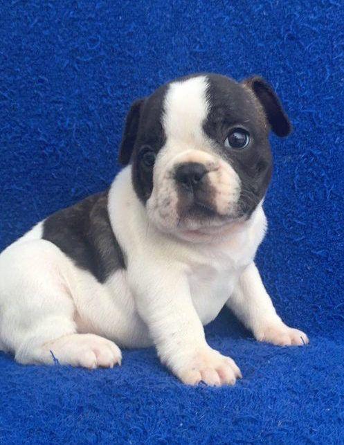 French Bulldog Puppy For Sale In Charleston Sc Adn 71414 On