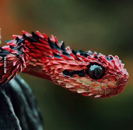 one of the most gorgeous snakes hairy bushviper