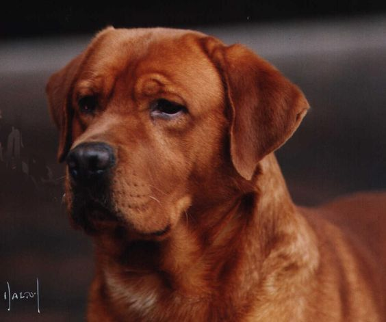My new favorite dog... Fox Red Lab our lab is this color.... Genetically a yellow lab, but super mellow