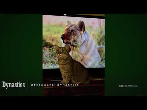 Watch Petswatchingdynasties Dynasties Saturdays At 9pm Bbc America Bbc America Bbc America
