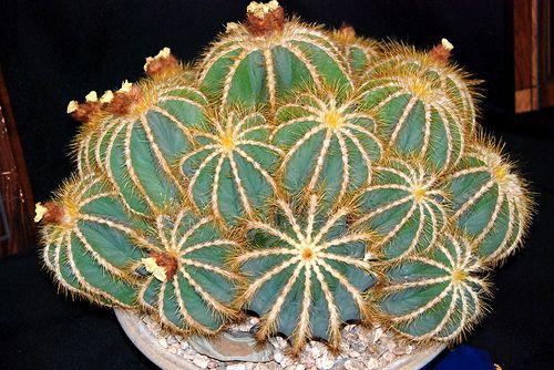Parodia magnifica by plantmanbuckner, via Flickr. Synonym: Notocactus magnificus.