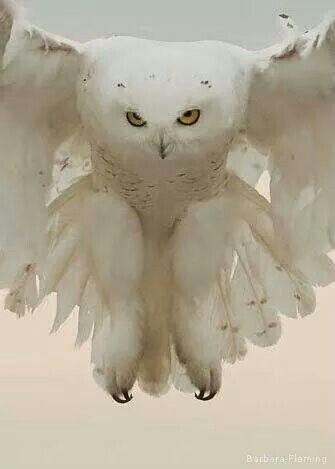 Snowy owl: