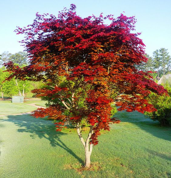 Japanese red maple garden dreams pinterest trees to for Japanese trees for landscaping