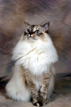 Seal Lynx and Seal mitted Ragdolls