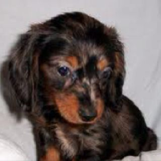 Dapple Baby: Dachshunds Puppies, 3Rd Baby, Dapple Dachshunds, Haired Dachshunds, Dogs Puppies, Dapple Baby, Weiner Dogs, Long Dogs, Baby Long