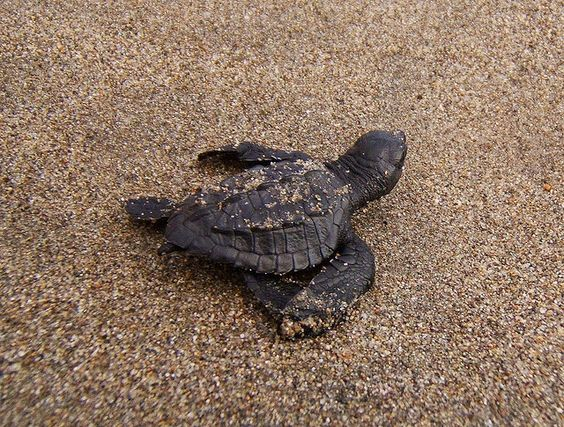 baby sea turtle, cutest thing ever