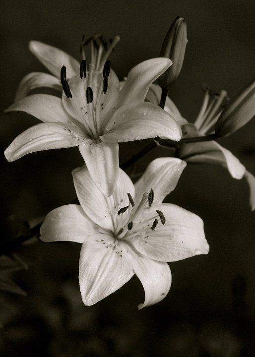 black & white lillies