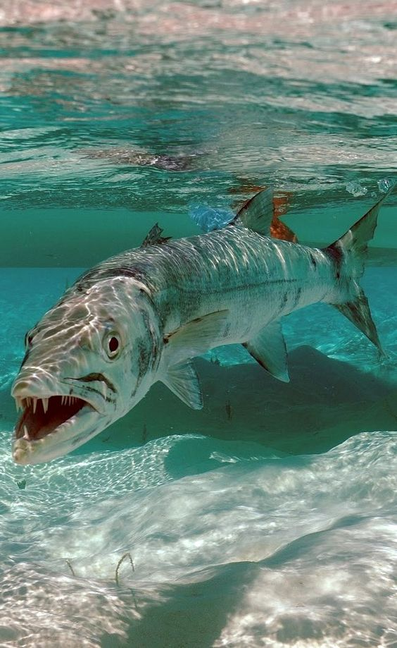 Barracuda: ran into one of these snorkeling in the Grand Cayman ... not pretty t                                                                                                                                                     More