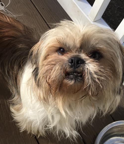 Adopt A Dog Shih Tzu Pekingese Mixed Long Coat In San Diego