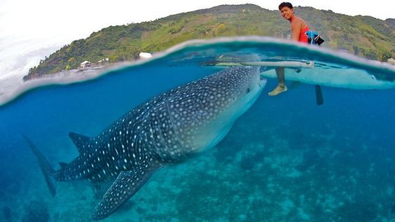 """Is WHALE SHARK TOURISM ETHICAL? Pictured: A whale shark in the Philippines, where guides have come under fire for feeding whale sharks and encouraging interaction between people and the large fish. During the summer season, these solitary fish gather in large numbers to feed on plankton * """"bait boils"""" (large shoals of fish pushed to the surface by other predators) that appear in Honduras, Mexico, Mozambique, the Philippines, & elsewhere. AVOID operators that attract whale sharks by feeding…"""