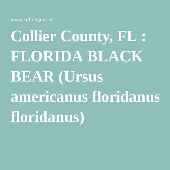 Collier County, FL : FLORIDA BLACK BEAR (Ursus americanus floridanus). Unfortunately they are off the endangered list and being hunted again...We are less than a mile from the Strand.