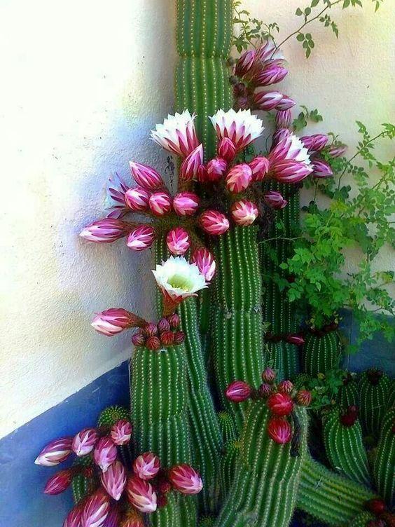 Kaktüs çiçeği                                                                                                                                                      More - Serpil Can - #Çiçeği #kaktus #serpil