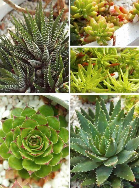 Varietes Plantes Succulentes Plante Succulente Succulentes