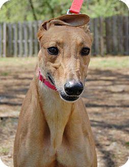 Cherry Hill, NJ - Greyhound. Meet Gable Twitter, a dog for adoption. http://www.adoptapet.com/pet/12884790-cherry-hill-new-jersey-greyhound