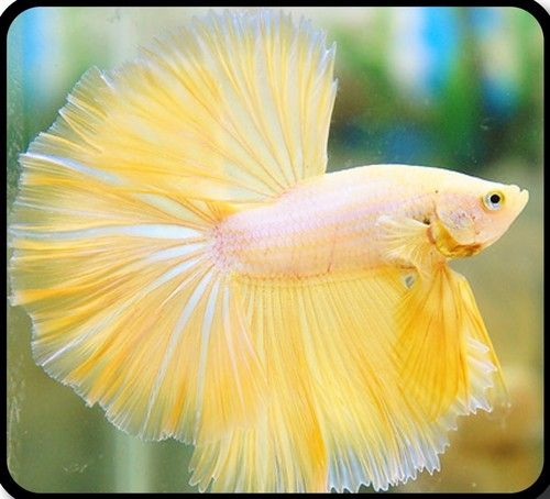 Of what I can remember from my research, half moon betta fish cost up to 50 bucks... which is a little less than half a sub day.... can I justify this to myself somehow?!: