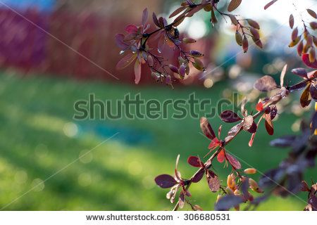 Backlit barberry bush - stock photo