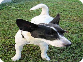 Easton, MD - Parson Russell Terrier Mix. Meet FAYE, a dog for adoption. http://www.adoptapet.com/pet/11754758-easton-maryland-parson-russell-terrier-mix