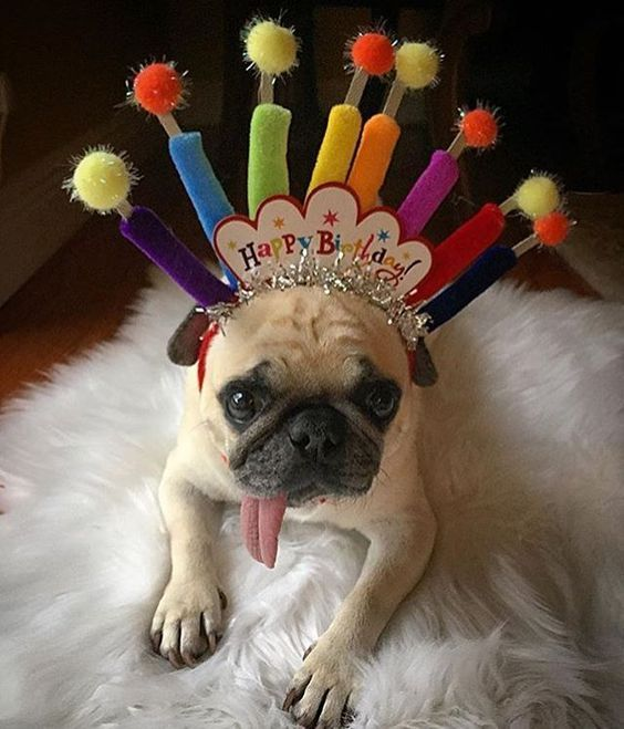 Speaking Of Spoiling Your Pug You Never Forget To Celebrate Their Birthday Happy Birthday Pug Happy Birthday Animals Birthday Pug