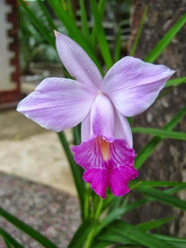 Orquídea, Penedo.