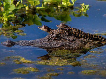 el lagarto y sus crias