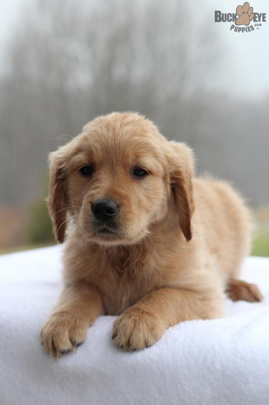 Pin By Milica Vukovic On Nice Xiv Puppies Golden Retriever Cute Animals