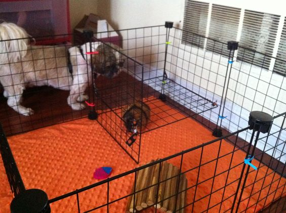 My guinea pigs play pen and my dogs will not stop staring for Diy playpen for guinea pigs