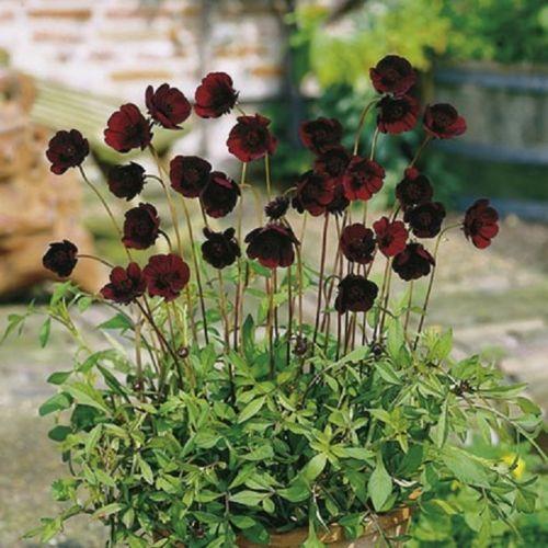 cosmos atrosanguineus chocamocha tender perennial plant ex 9cm pot flowers pinterest. Black Bedroom Furniture Sets. Home Design Ideas
