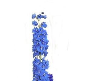 Delphinium, Hybrid Blue
