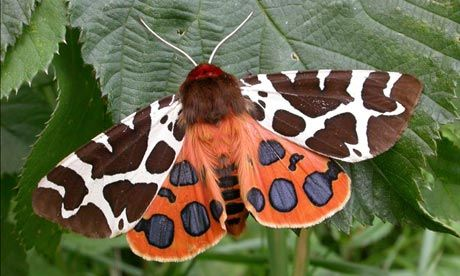 The Garden Tiger moth: once common in British gardens, its numbers have fallen by 92% over 40 years. Photograph: Maarten Jacobs