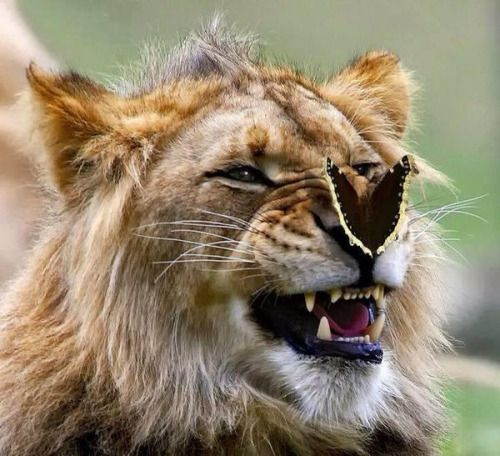 "This picture of a butterfly landing on a lion was taken by photographer Kerry Snider. He says ""This was taken at the Wild Animal Park in San Diego. I caught him at the end of a yawn. The expression was perfect for adding the butterfly."""