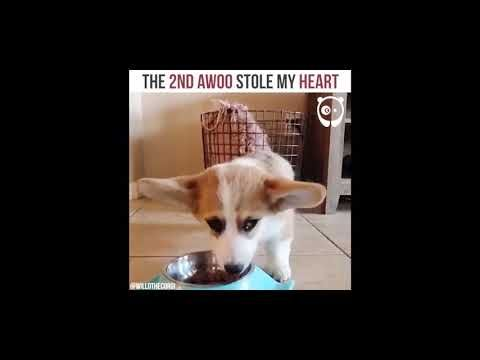 Corgi Puppy Howls Awoo Youtube Corgi Corgi Puppy Cute