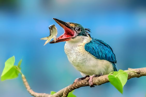 Collared Kingfisher by MazLoy  on 500px