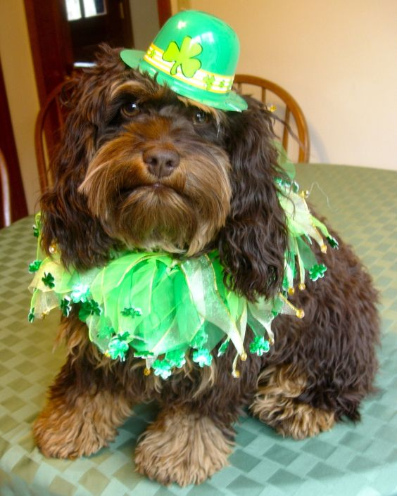 Happy St. Patty's Day! Super Cute Pets Ready to Party on St. Patrick's Day!