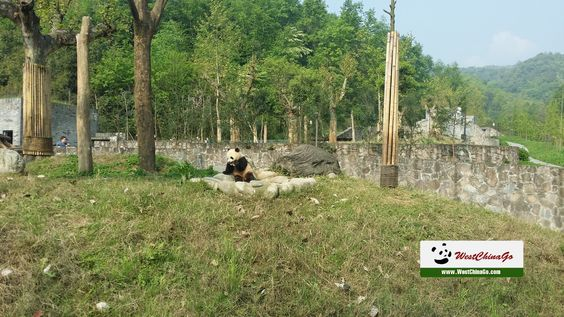 how to apply dujiangyan panda volunteer program from chengdu