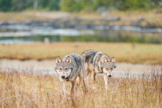 http://globalnews.ca/news/2239088/national-geographic-puts-spotlight-on-b-c-s-enigmatic-sea-wolves/