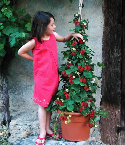 Klettererdbeere Hummi 1a Qualitat Kaufen Baldur Garten Erdbeeren Garten Garten Erdbeeren