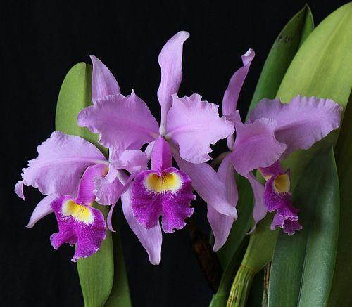 Cattleya Warszewiczii Orchid Flower Cattleya Orchid Cattleya