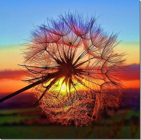 Dandelion and Sunset