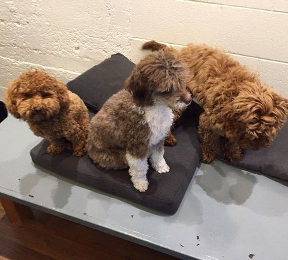 Three amigos! #petitepawsplaycare #playcare #playtime #dogdaycare #smalldogs #smallbreeds #olympicvillage #cute #friends #love #dogs #pets #animals #playfuldogs #happydogs #fun #dogstagram #vancouver #vancity #yvr #instadog #dogsofinstagram  Photo By: petitepawsplaycare  http://bit.ly/teacupdogshq