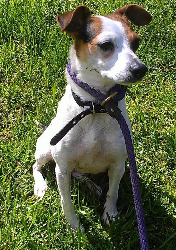 "Meet Trixie; 3 year old Jack Russell; very quiet; ""speaks"" Spanish but is learning English; does well on a leash; Ginny Millner Rescue Group in Atlanta, GA:"