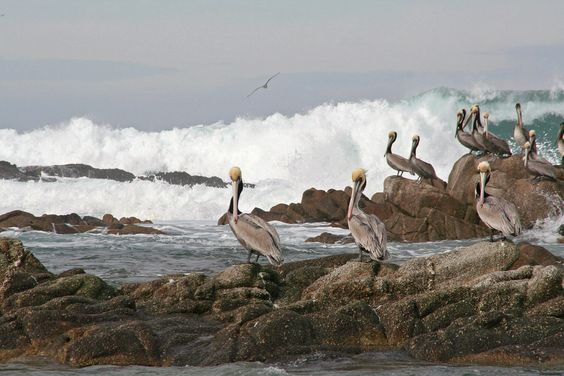 The Pelicans in Pacific Grove, Calfornia