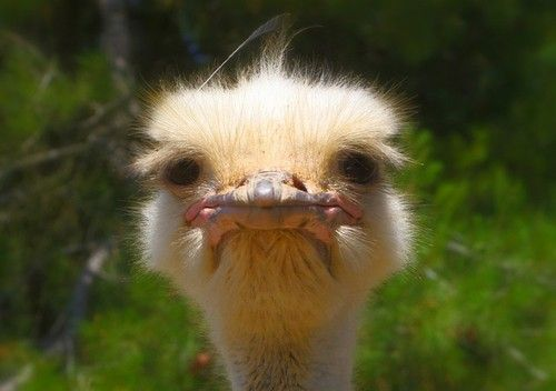ostrich-992753_640.jpg