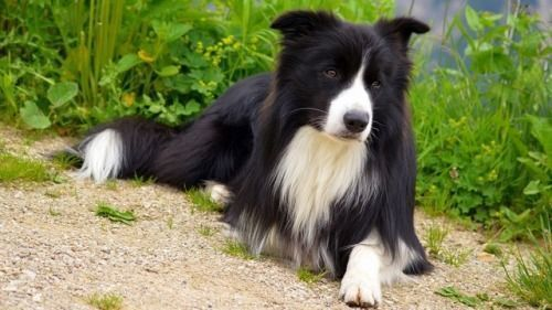 Bordercollie Colliepoint Border Collie Dog Border Collie Dogs