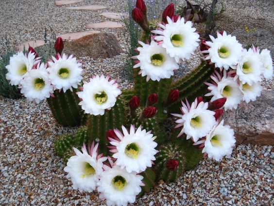 White Argentine Saguaro Cactus