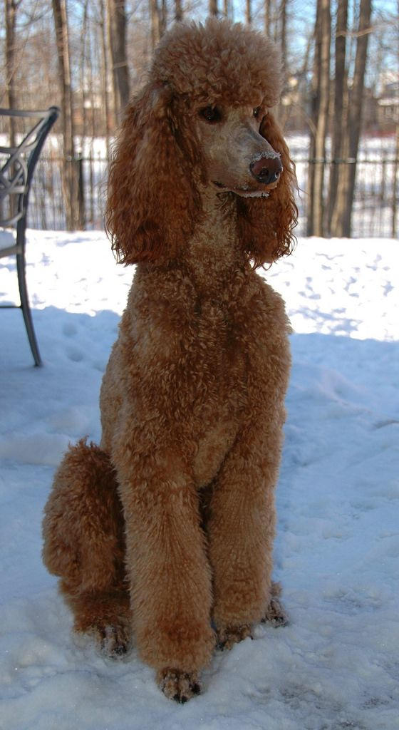 Standing Guard Poodle Poodle Grooming Dog Breeds