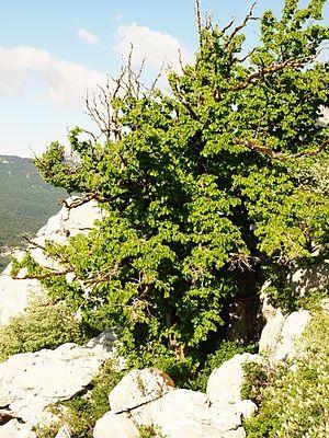 Baum-Hasel am Wildstandort in den subadriatischen Südostdinariden