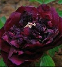 30 BLACK PEONY POPPY POPPIES - Rare Heirloom Seeds Flowers FREE POSTAGE